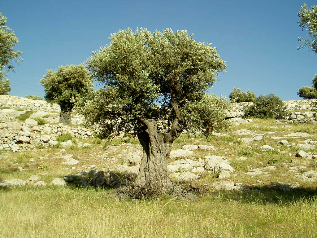 how to look after an olive tree